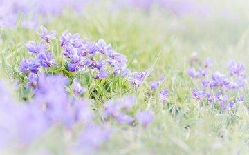 цветы, трава, размытость, весна, фиалки, фиалка
