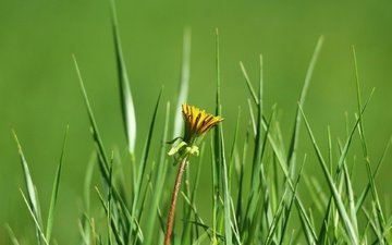 grass, greens, flower, dandelion