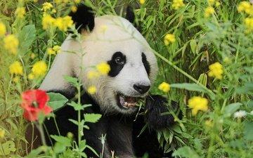морда, цветы, трава, зелень, взгляд, панда