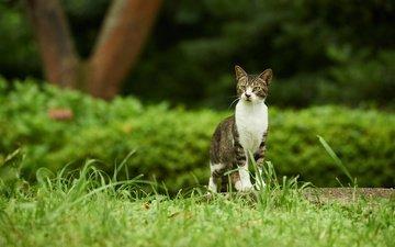 трава, зелень, парк, кот, кусты, кошка, прогулка