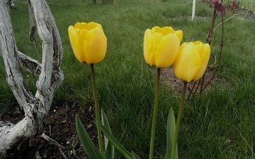 цветы, трава, весна, тюльпаны, стебли, желтые