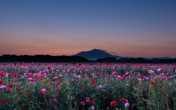the sky, flowers, the evening, mountain, maki, poppy field, hiroshi ohyama