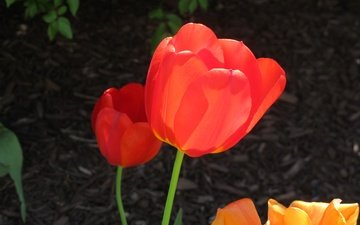 flowers, buds, petals, spring, tulips, stems, red tulips