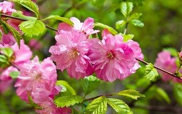 ветка, цветение, листья, сакура, цветки