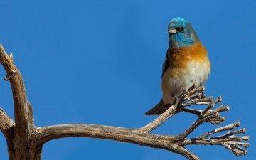 ветка, природа, птица, клюв, перья, лазурный овсянковый кардинал