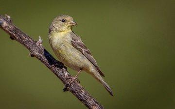 branch, bird, beak, feathers, tail, goldfinch