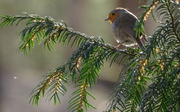 branch, needles, branches, bird, beak, feathers, robin