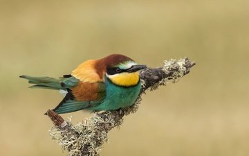 branch, bird, beak, feathers, schurka, peeled, european bee-eater