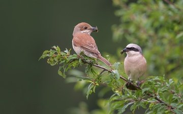 branch, birds, beak, pair, feathers, bokeh, red-backed shrike, shrike