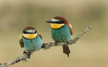 branch, birds, beak, pair, feathers, schurka, peeled, european bee-eater