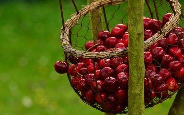 ветка, сетка, черешня, ягоды, вишня, зеленый фон, корзинка, боке, висит