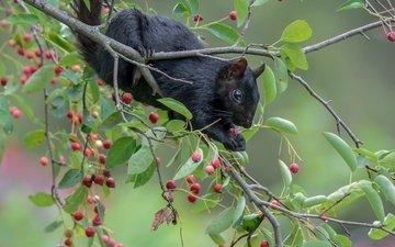 branches, berries, protein, animal, saskatoon