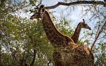 животные, ветви, листва, пятна, пара, двое, окрас, жираф, жирафы, шея