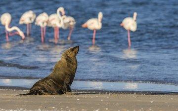 вода, берег, фламинго, птицы, животное, тюлень, морской котик