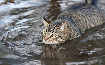 water, cat, muzzle, mustache, look, swim, swimmer