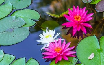 flowers, water, leaves, lily, water lilies