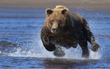 морда, вода, взгляд, медведь, брызги, бег