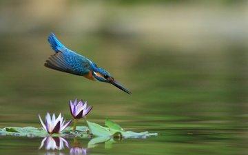 цветы, вода, полет, клюв, лотос, перья, зимородок