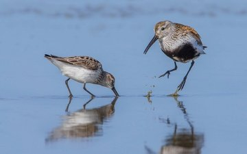 water, reflection, birds, beak, dunlin, pereponchatokrylye sandpiper, kulik