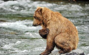 вода, река, камни, медведь, хищник, животное
