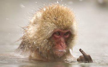 вода, снег, палец, животное, купание, обезьяна, макака
