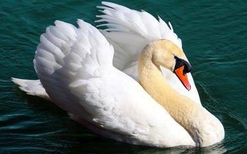 water, pond, bird, swan