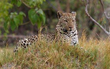 look, predator, jaguar, stay, color