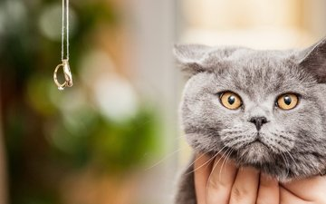 cat, muzzle, mustache, look, ring, british, bokeh, yellow eyes