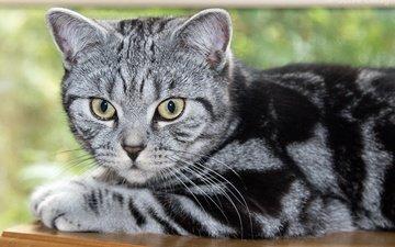взгляд, котенок, британская короткошерстная кошка