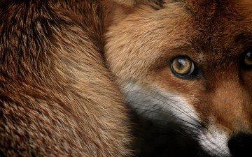мордочка, взгляд, лиса, лисица, испуг