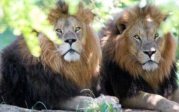 face, look, lions, predators, brothers, wild cat