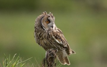 grass, owl, look, bird, beak, feathers, long-eared owl