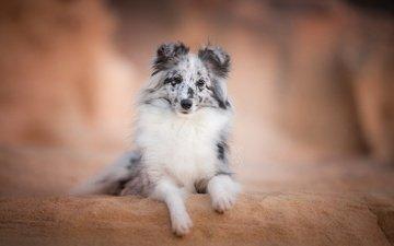 взгляд, собака, друг, шелти, шетландская овчарка