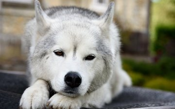 muzzle, look, dog, husky, each, siberian husky