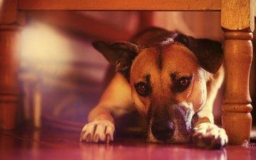 мордочка, взгляд, собака, щенок, друг