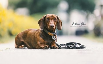 muzzle, look, dog, puppy, each, collar, dachshund, leash
