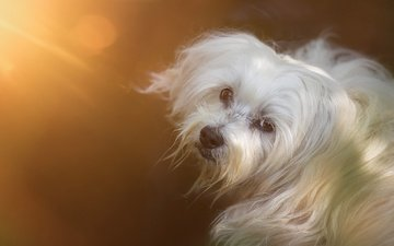 muzzle, look, dog, the havanese, shaggy, bichon