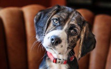 eyes, face, look, dog, animal, ears, collar