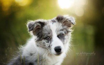 мордочка, взгляд, собака, щенок, лиза, dackelpup