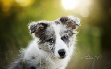 muzzle, look, dog, puppy, lisa, dackelpup