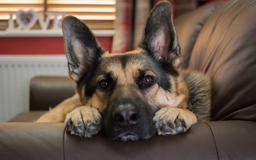 muzzle, look, dog, sofa, german shepherd