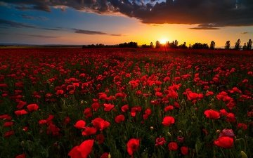 flowers, sunset, field, summer, red, maki