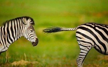 зебра, животные, размытость, африка, юар
