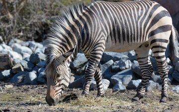stones, zebra, animals