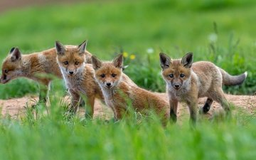 greens, look, faces, cubs, fox