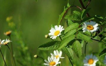 цветы, зелень, листья, лето, лепестки, ромашки, белые