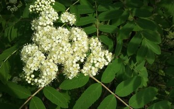 зелень, листва, весна, рябина, белые цветы