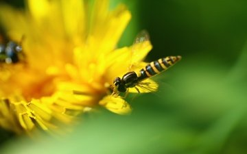greens, macro, insect, flower, dandelion, fly, osa, pchelovodny fly