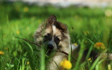 flowers, greens, look, dog, puppy, laika, wand