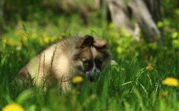 eyes, greens, look, dog, puppy, dandelions, laika